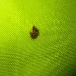 another of the 5 bed bugs that i managed to capture