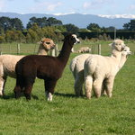  the alpacas