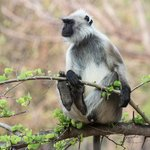  Langur Monkey