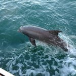 Dolphin jumping less than two yards from Schooner Jolly II Rover, an exciting experience.