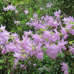 April is the Perfect Month to see the Azaleas