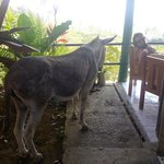 Miss Donkey coming up to the terrace to say hi :)