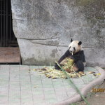  Panda eating