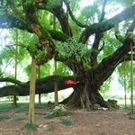 ‪Big Banyan Tree‬