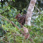 Wild Orang Utan mother with baby