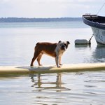 Bulldogs & Paddleboards