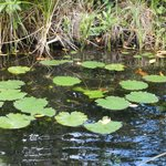 Lilly Pads at the swimming hole