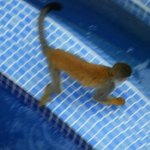  MONKEY VISITING POOL