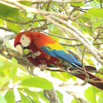  This macaw spent about 30 minutes eating in the tree above our deck!