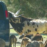 car in front of us feeding a longhorn