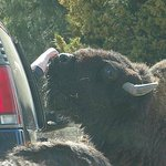  car in front of us petting bison