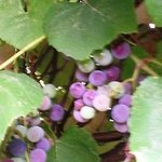  Ripening Grapevines