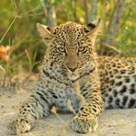  Leopard Cub