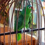 Ricky Rick the resort parrot
