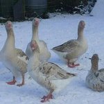 beautiful geese