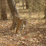  Tadoba Tiger