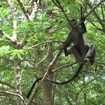  Black monkeys in trees near dining area