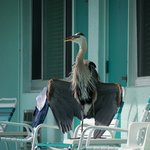  The Blue Heron shows off