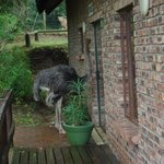 An ostrich wanting a cup of tea