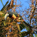  Collared Aracari right outside the dining area :)