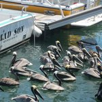  Pelicans queuing up to eat fish/bait