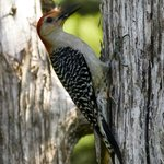 "Our ""Big Daddy"" woodpecker visits the meadow outside our dining room in the morning."