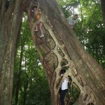  Ficus tree, beautiful hike in the Cloud Forest!!