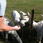 feeding cute alpacas