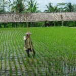  rice field