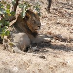 Sasan Gir's.. The King of the jungle..