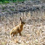 Hare in adjoining field