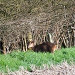  Muntjac Deer in adjoining field