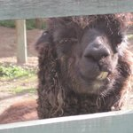  The alpaca in the garden!