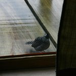 Bird knocking at the window to wake you up in the morning :)