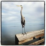 This is a photo I took of a blue heron on the dock at Manatee Hammock Campground Dec 2012