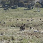 No shortage of kangaroos in Namadgi