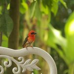  Petit cardinal familier de la maison