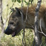 hyena grabbing up wild dog's leftovers!