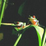 Red - Eyed