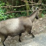  Wild Goat 2
