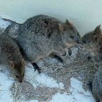  The little family of wild Quokkas - marsupials who lived near our apartment