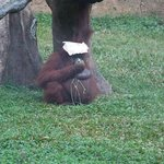 See what this orang utan did when it was drizzling!