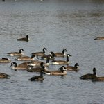Geese passing through: Fall 2012