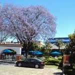  Las jacarandas son clsicas en los meses de marzo