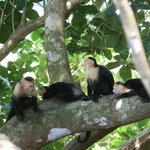  Capuchin monkey at Manuel Antonio nature reserve, Pacific coast, Costa Rica