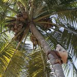  Man climbing on a coconut tree