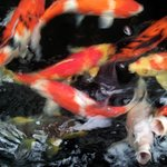  Feeding the koi