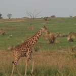  Giraffe in National Parck Murchison Falls