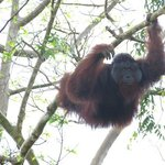 wild dominant male orang utan on river between Abai and Kinabatangan riverside lodges.