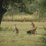Plenty of wallabies in the grounds in early morning